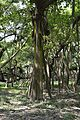 Great Banyan Tree - Indian Botanic Garden - Howrah 2012-09-20 0056.JPG