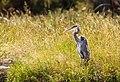 Great Blue Heron Yellowstone (crop).jpg