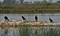 Great Cormorant (Phalacrocorax carbo) near Hodal W IMG 6483.jpg