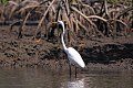 Great Egret (Ardea alba) (8082821674).jpg