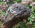 Great Horned Owl 2a (6019205269).jpg