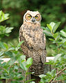 Great Horned Owl on fence.jpg