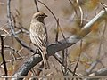Great Rosefinch (Carpodacus rubicilla) (26640948883).jpg