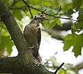 Great spotted woodpecker (48950689208).jpg