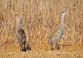 Greater Sandhill Crane Pair Seedskadee NWR (17136169441).jpg