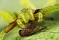 Green Spider Micrommata virescens with Drosophila melanogaster on a leaf.jpg