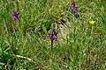 Green Winged Orchids - geograph.org.uk - 1282573.jpg