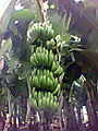 Green bananas on tree.jpg