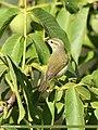 Greenish Warbler (Phylloscopus trochiloides) (50405235063).jpg