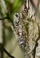 Grey Cicada (Cicada orni) (35414406850).jpg