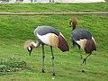 Grey Crowned Crane - ഗ്രെ ക്രൗൺഡ് ക്രെയിൻ 01.jpg