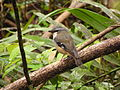 Grey Headed Robin Qld.jpg