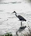 Grey Heron, RSPB Edderthorpe Flash - geograph.org.uk - 2540356.jpg