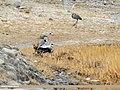 Grey Heron (Ardea cinerea) (33161754734).jpg