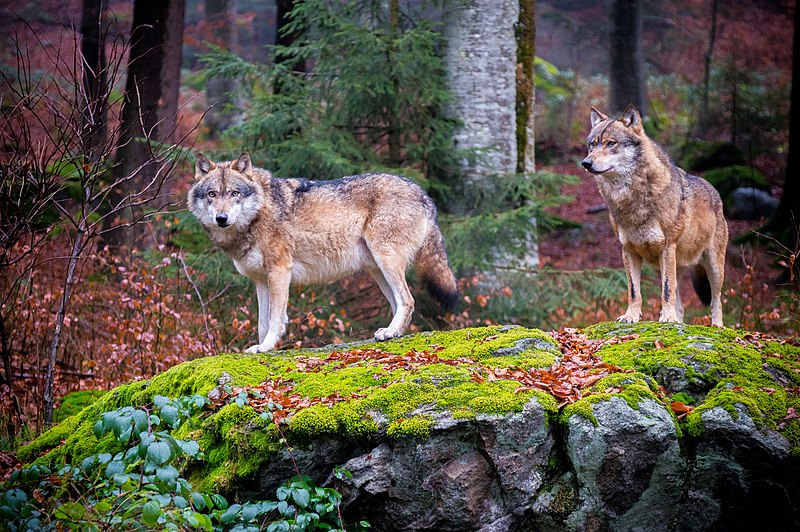 File:Grey wolves in Bavarian Forest National Park.jpg