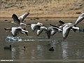 Greylag Goose (Anser anser) (25613790745).jpg
