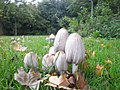 Grote kale inktzwam (Coprinopsis atramentaria) in Hoorn.jpg