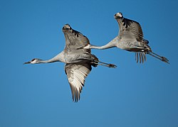 Grus canadensis -Bosque del Apache National Wildlife Refuge, New Mexico, USA -flying-8a (1).jpg