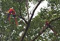 Guacamayos rojas.jpg