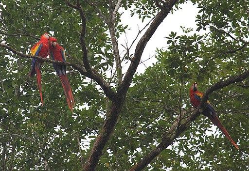Guacamayos rojas