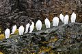 Guillemots on Bear Island Svalbard Arctic (20256063076).jpg