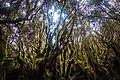 Gunung Irau (The Mossy Forest) (26185581515).jpg