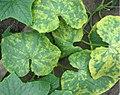Gurkenmosaikvirus.JPG