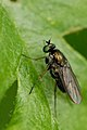 Gymnopternus.cupreus.-.lindsey.jpg