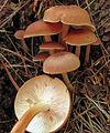 Gymnopus dryophilus 97221 crop.jpg