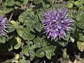 H20090708-1315--Monardella villosa ssp franciscana--RPBG (15139340600).jpg