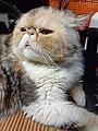 HK HH 紅磡 Hung Hom 異國長短毛貓 Exotic Shorthair bleed cat November 2020 SS2 07.jpg