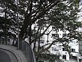 HK Mid-levels 香雪道 Hornsey Road view Robinson Garden Mansion trees Feb-2011.JPG