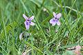 Hainveilchen (Viola riviniana) (17215865811).jpg