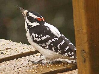Hairy woodpecker - Image: Hairy woodpecker