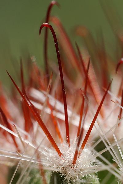 Fotografije kaktusa - Page 9 400px-Hakendornen_IMGP7026_WP