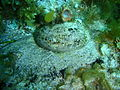 Haliotis laegivata Green lipped abalone P1021049.JPG