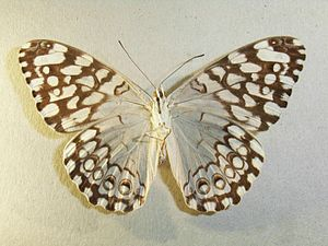 Hamadryas (butterfly) - Underwing pattern of Hamadryas epinome museum specimen