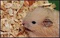 Hamster pet.jpg