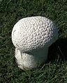 Handkea utriformis, the Mosaic Puffball (9602869149).jpg