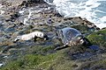 Harbor Seals (32744721170).jpg