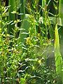 Heimia salicifolia (14718103640).jpg