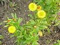 Helichrysum bracteatum8.jpg