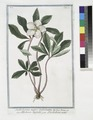 Helleborus niger trifoliatus - Elleboro trifolio - L'Hellebore noir. (Stinking hell-wore, three leaved) (NYPL b14444147-1130591).tiff