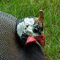 Helmeted guineafowl head.jpg