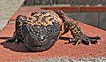 Heloderma suspectum -Arizona-Sonora Desert Museum-8c.jpg