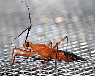 <i>Cydnocoris</i> Genus of true bugs