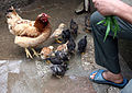 Hen with chicks E1.jpg