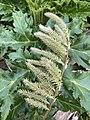 Heracleum mantegazzianum 117996115.jpg