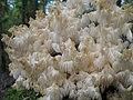Hericium clathroides (Scop.) Pers. (15070594113).jpg