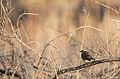 Hermit Thrush (14023544594).jpg